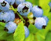 Blueberrybush_2